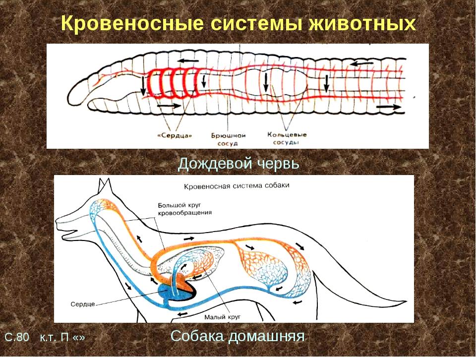 Кровеносные системы животных Дождевой червь С.80 к.т. П «» Собака домашняя
