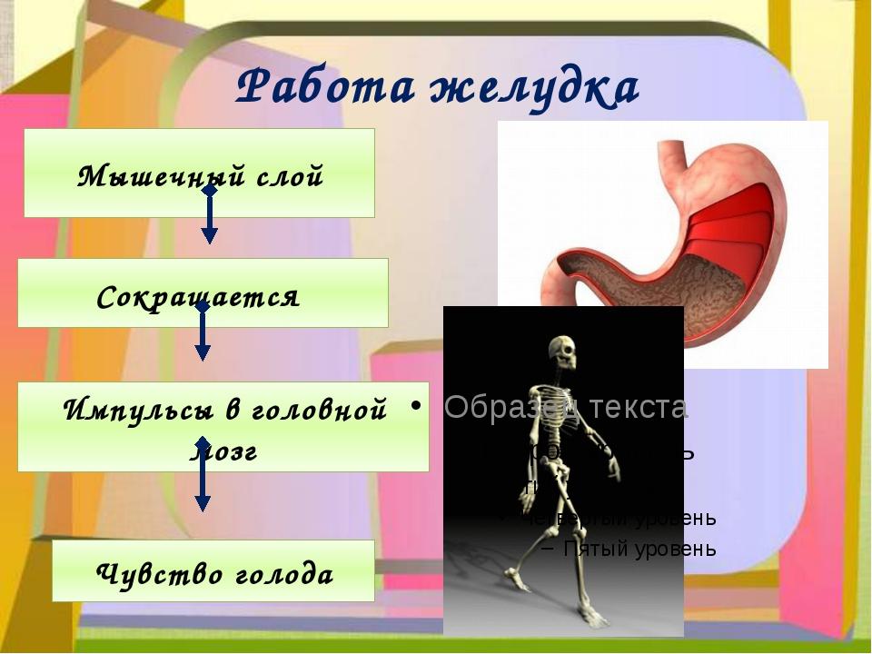 Работа желудка Мышечный слой Сокращается Импульсы в головной мозг Чувство гол...