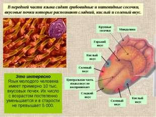 В передней части языка сидят грибовидные и нитевидные сосочки, вкусовые почк