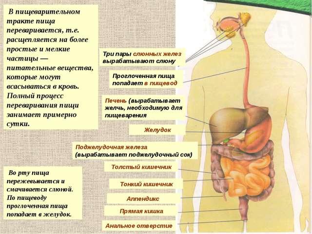 Печень (вырабатывает желчь, необходимую для пищеварения Желудок Поджелудочная...