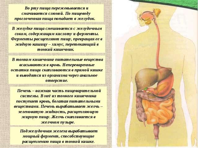 Во рту пища пережевывается и смачивается слюной. По пищеводу проглоченная пи...