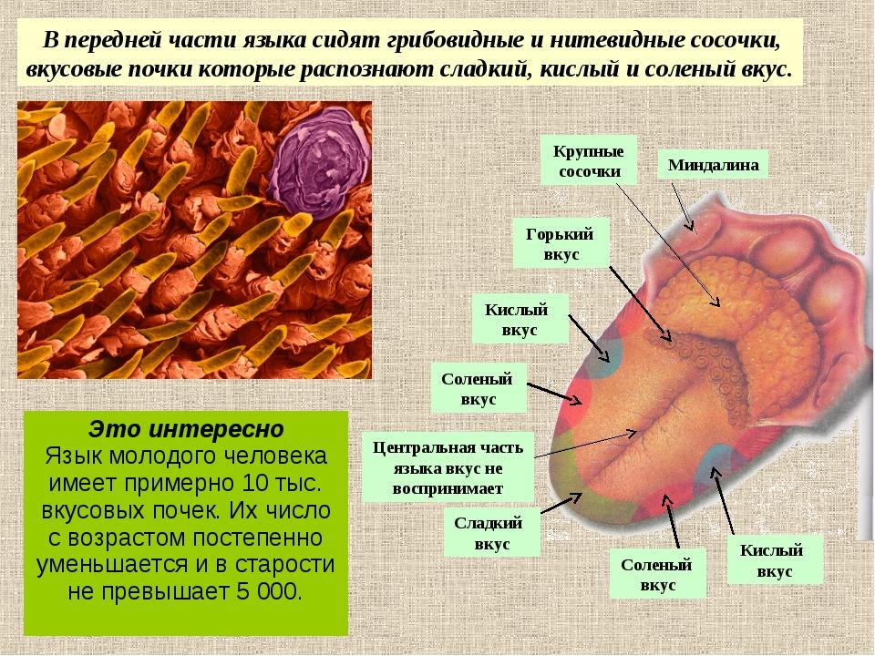 В передней части языка сидят грибовидные и нитевидные сосочки, вкусовые почк...