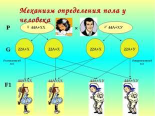 Механизм определения пола у человека ♀ 44А+ХХ ♂ 44А+ХУ × Р G 22А+Х 22А+Х 22А
