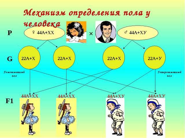 Механизм определения пола у человека ♀ 44А+ХХ ♂ 44А+ХУ × Р G 22А+Х 22А+Х 22А...