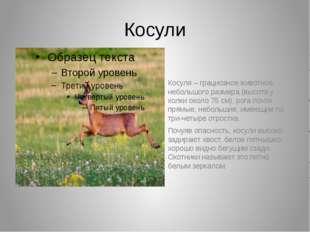 Косули Косуля – грациозное животное, небольшого размера (высота у холки около