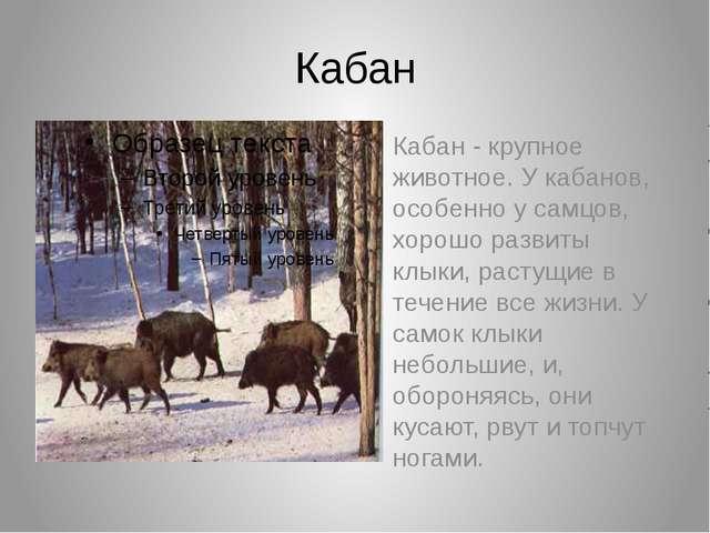 Кабан Кабан - крупное животное. У кабанов, особенно у самцов, хорошо развиты...