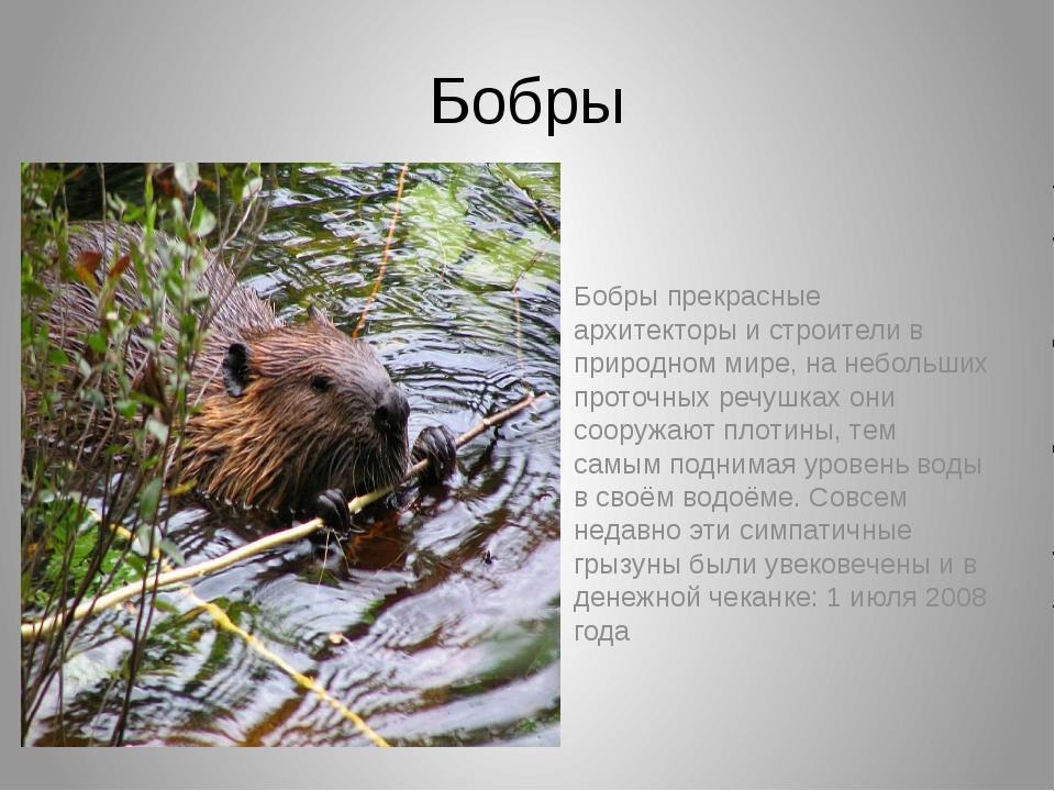 Бобры Бобры прекрасные архитекторы и строители в природном мире, на небольших...