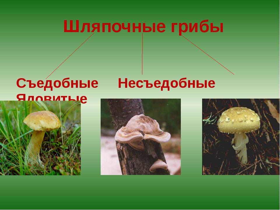 Шляпочные грибы Съедобные Несъедобные Ядовитые