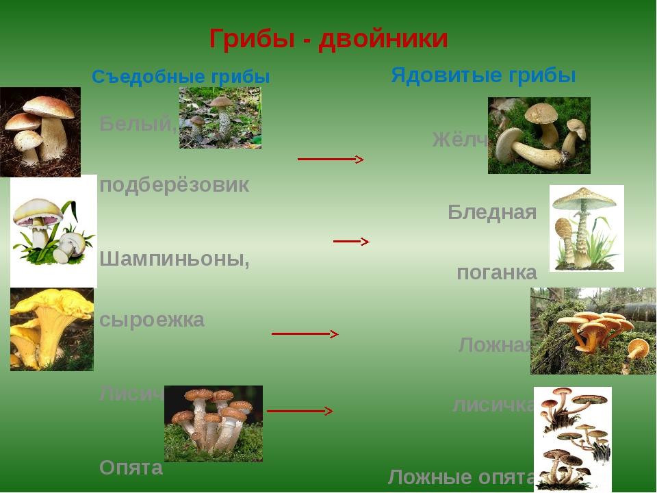 Грибы - двойники Съедобные грибы Белый, подберёзовик Шампиньоны, сыроежка Лис...