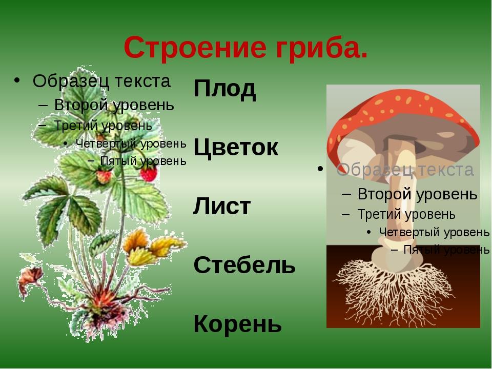 Строение гриба. Плод Цветок Лист Стебель Корень