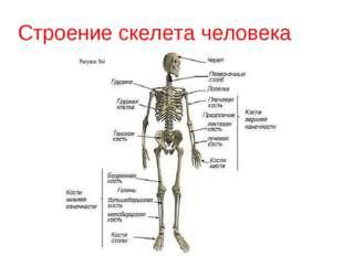 Строение скелета человека