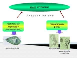 КЛАСС ЖГУТИКОВЫЕ Растительные жгутиковые (Фитомастигины) П Р Е Д С Т А В И Т
