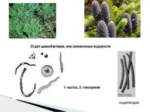 осциллятория 1- носток, 2- глеотрихия Отдел цианобактерии, или синезеленые во
