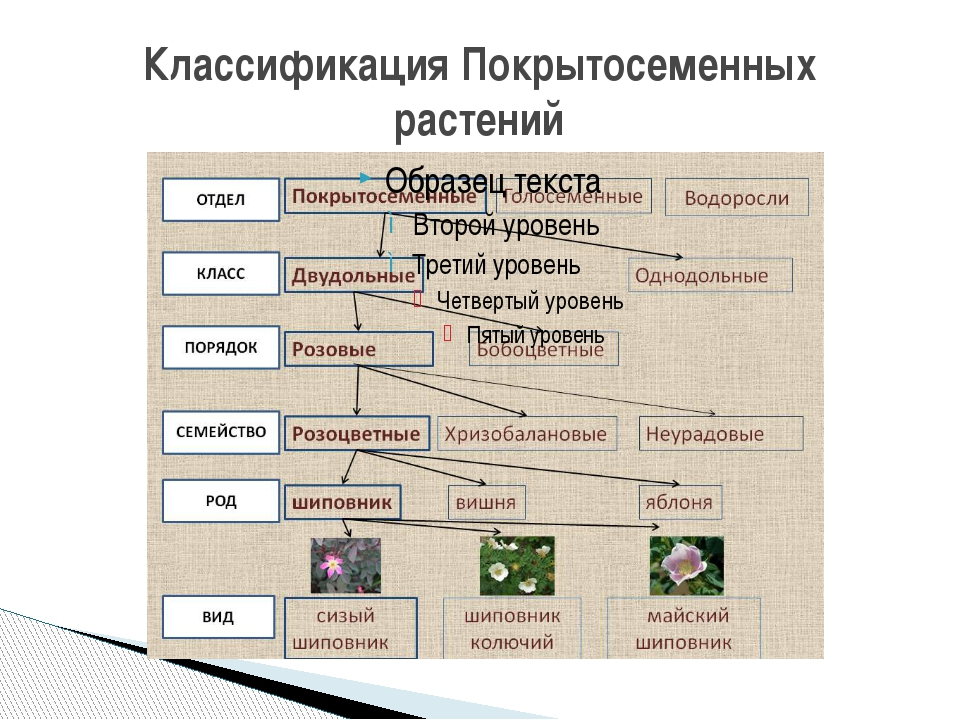 Классификация Покрытосеменных растений