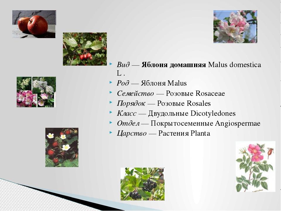 Вид — Яблоня домашняя Malus domestica L . Род — Яблоня Malus Семейство — Розо...