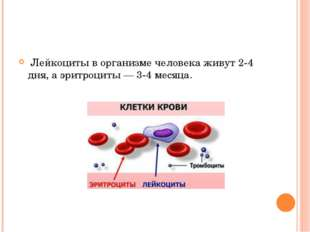 Лейкоциты в организме человека живут 2-4 дня, а эритроциты — 3-4 месяца.