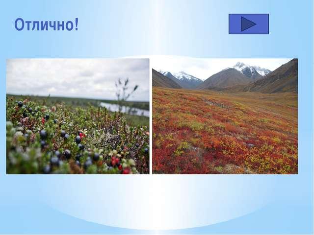 Особенности растений тундры… Длинный корень и мелкие листочки Мощный разветвл...