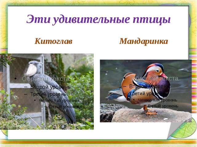 Эти удивительные птицы Китоглав Мандаринка