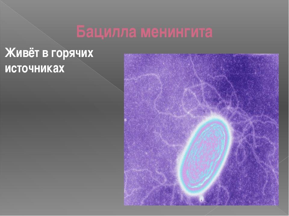 Бацилла менингита Живёт в горячих источниках