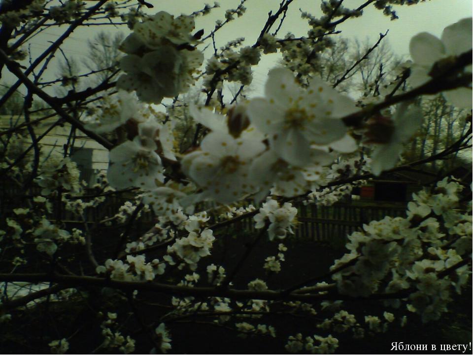 Плотина Май Плотина Яблони в цвету!