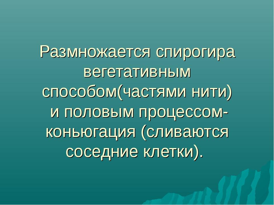 Размножается спирогира вегетативным способом(частями нити) и половым процессо...
