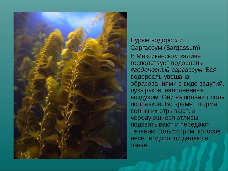 Бурые водоросли. Саргассум (Sargassum) В Мексиканском заливе господствует вод...
