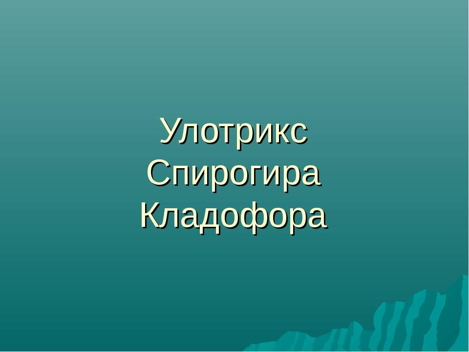 Улотрикс Спирогира Кладофора
