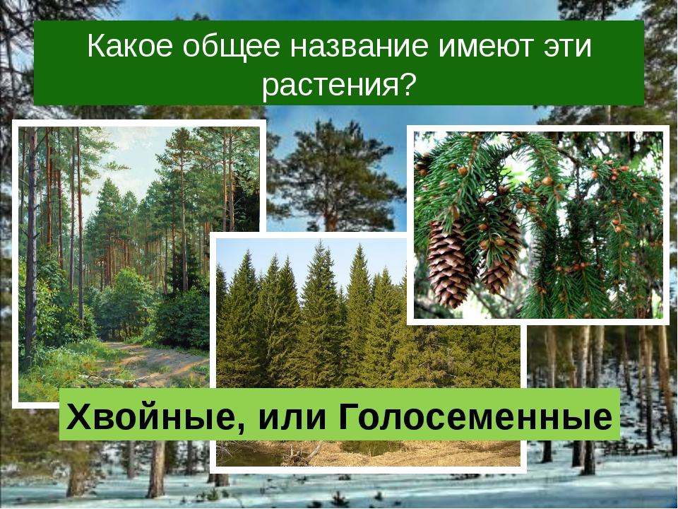 Какое общее название имеют эти растения? Хвойные, или Голосеменные