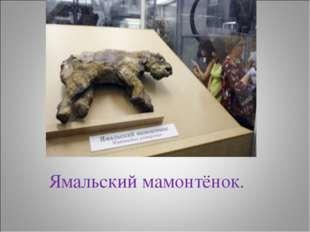 Ямальский мамонтёнок.