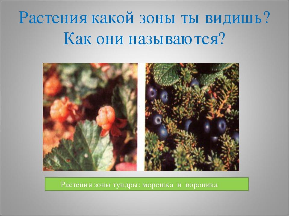 Растения какой зоны ты видишь?Как они называются? Растения зоны тундры: морош...