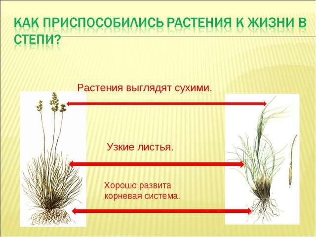 Узкие листья. Хорошо развита корневая система. Растения выглядят сухими.