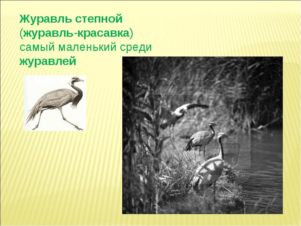 Журавль степной (журавль-красавка) самый маленький среди журавлей