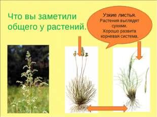 Что вы заметили общего у растений. Узкие листья. Растения выглядят сухими. Хо