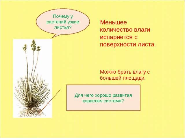 Почему у растений узкие листья? Для чего хорошо развитая корневая система? Ме...