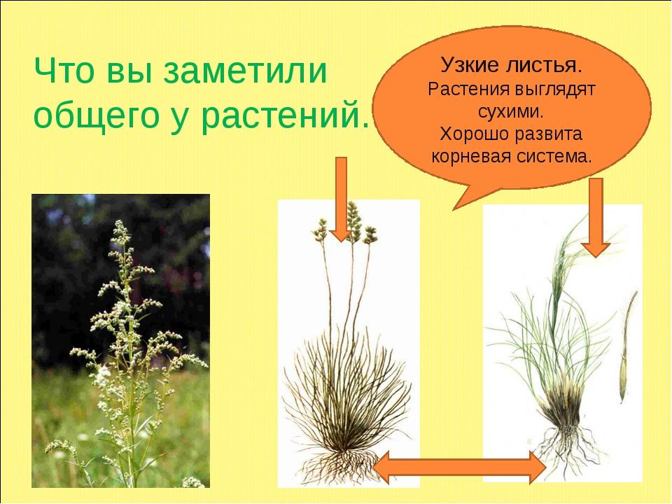 Что вы заметили общего у растений. Узкие листья. Растения выглядят сухими. Хо...