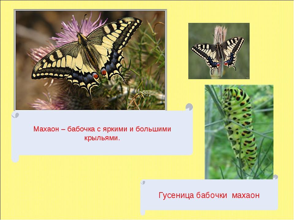Махаон – бабочка с яркими и большими крыльями. Гусеница бабочки махаон