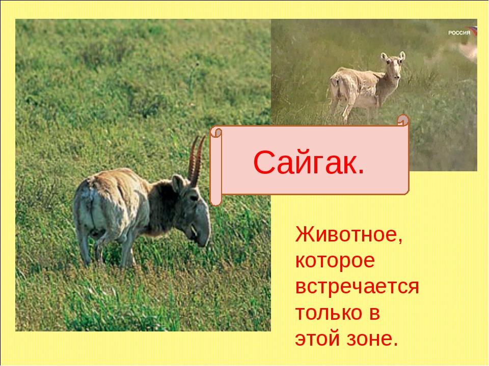 сайгак Сайгак. Животное, которое встречается только в этой зоне.
