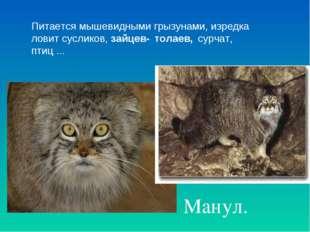 Манул. Питается мышевидными грызунами, изредка ловит сусликов, зайцев- толае