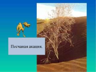 Песчаная акация.