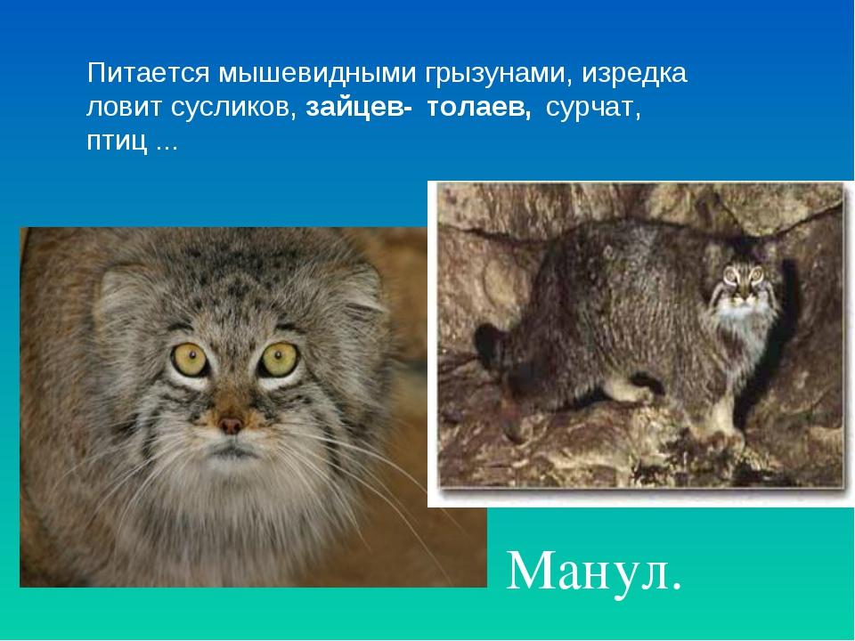 Манул. Питается мышевидными грызунами, изредка ловит сусликов, зайцев- толае...