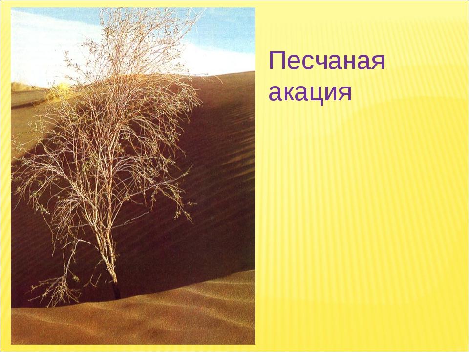 Песчаная акация