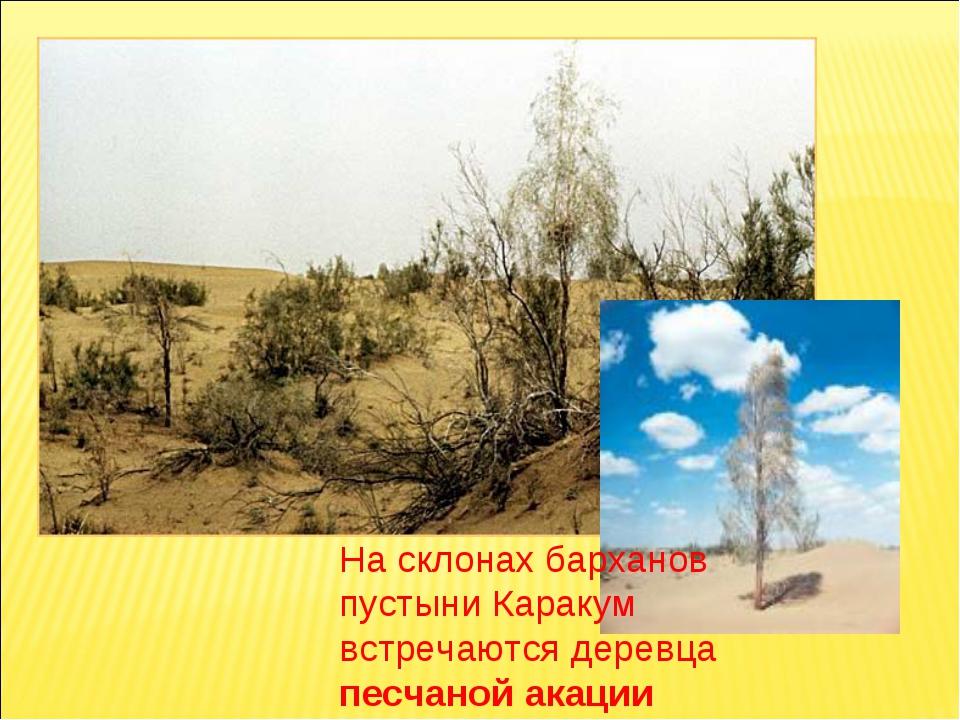 На склонах барханов пустыни Каракум встречаются деревца песчаной акации
