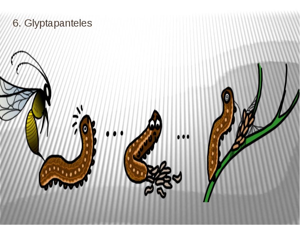 6. Glyptapanteles