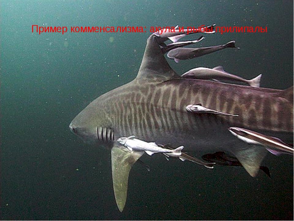Пример комменсализма: акула и рыбы прилипалы