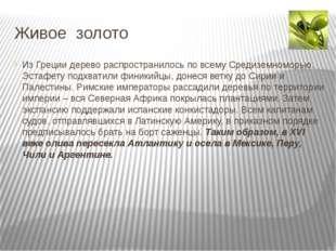 Живое золото Из Греции дерево распространилось по всему Средиземноморью. Эста