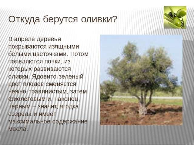 Откуда берутся оливки? В апреле деревья покрываются изящными белыми цветочкам...