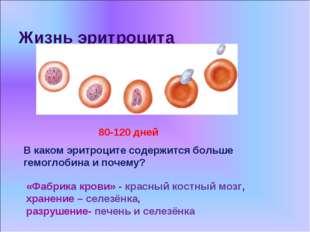 Жизнь эритроцита «Фабрика крови» - красный костный мозг, хранение – селезёнка