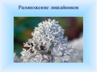 Размножение лишайников Половое размножение лишайников происходит с помощью сп