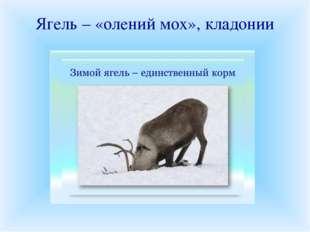 Ягель – «олений мох», кладонии Ягелем или оленьим мхом на Севере питаются оле