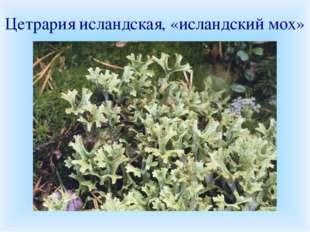 Цетрария исландская, «исландский мох» В народной медицине лишайник применялся